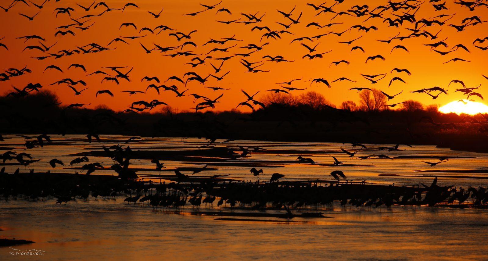 Sandhill Cranes by Rustin Nordsven
