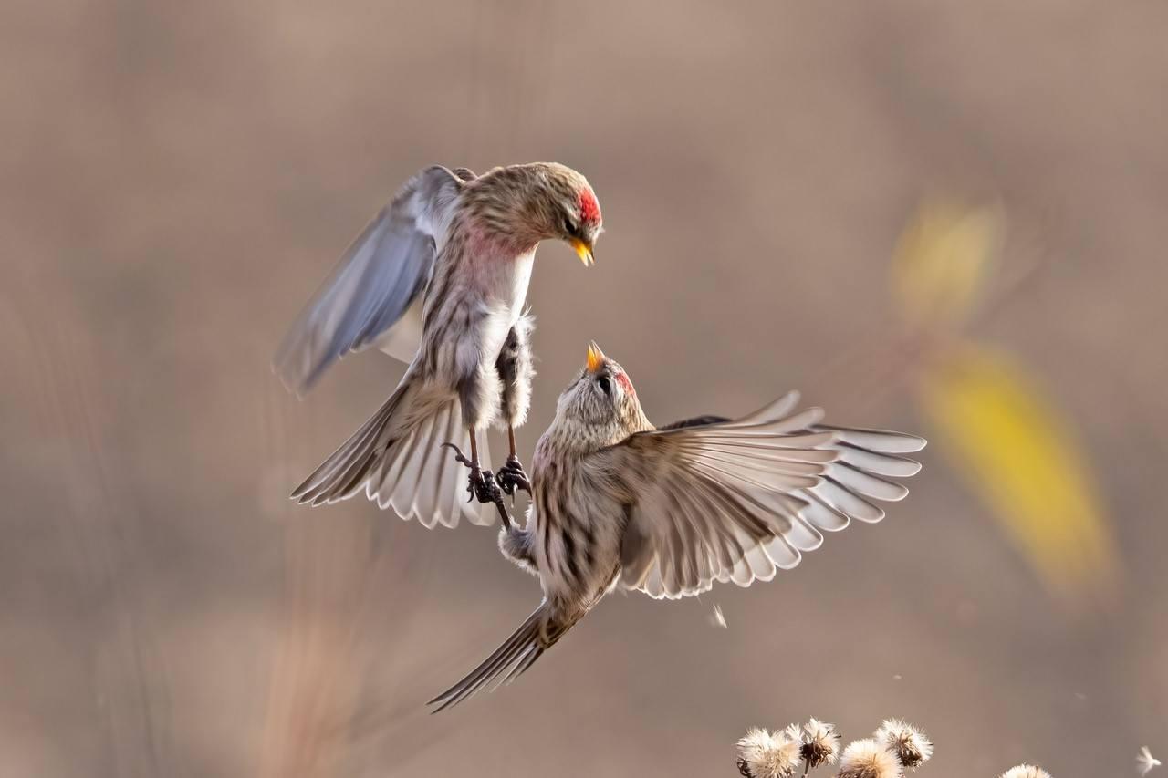 Common Redpolls by Diane Doran