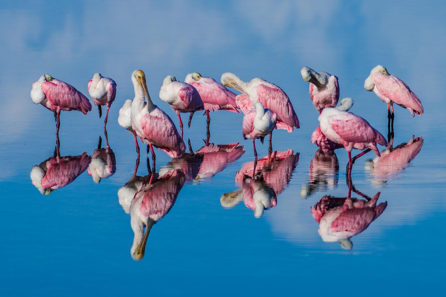 Roseate Spoonbills by William Parker Teed