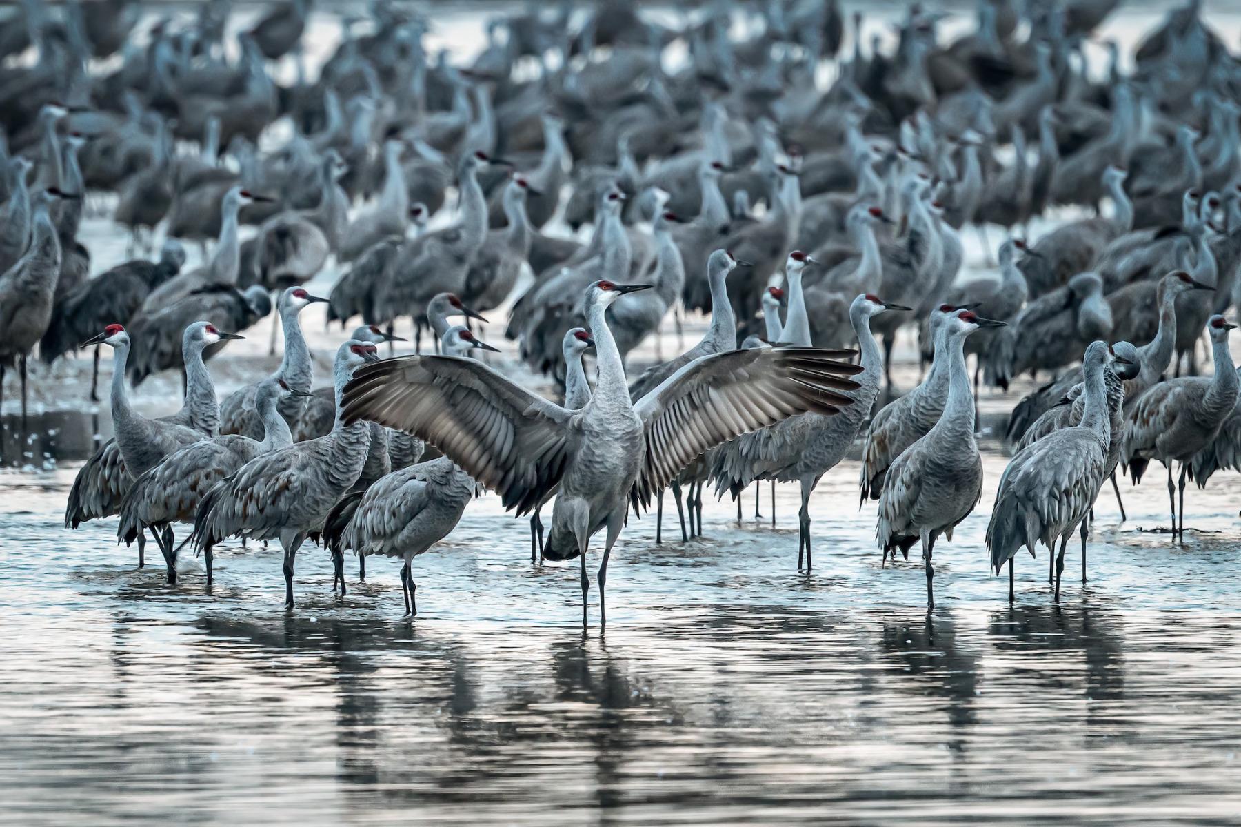 Sandhill Cranes by Jeff Wagoner