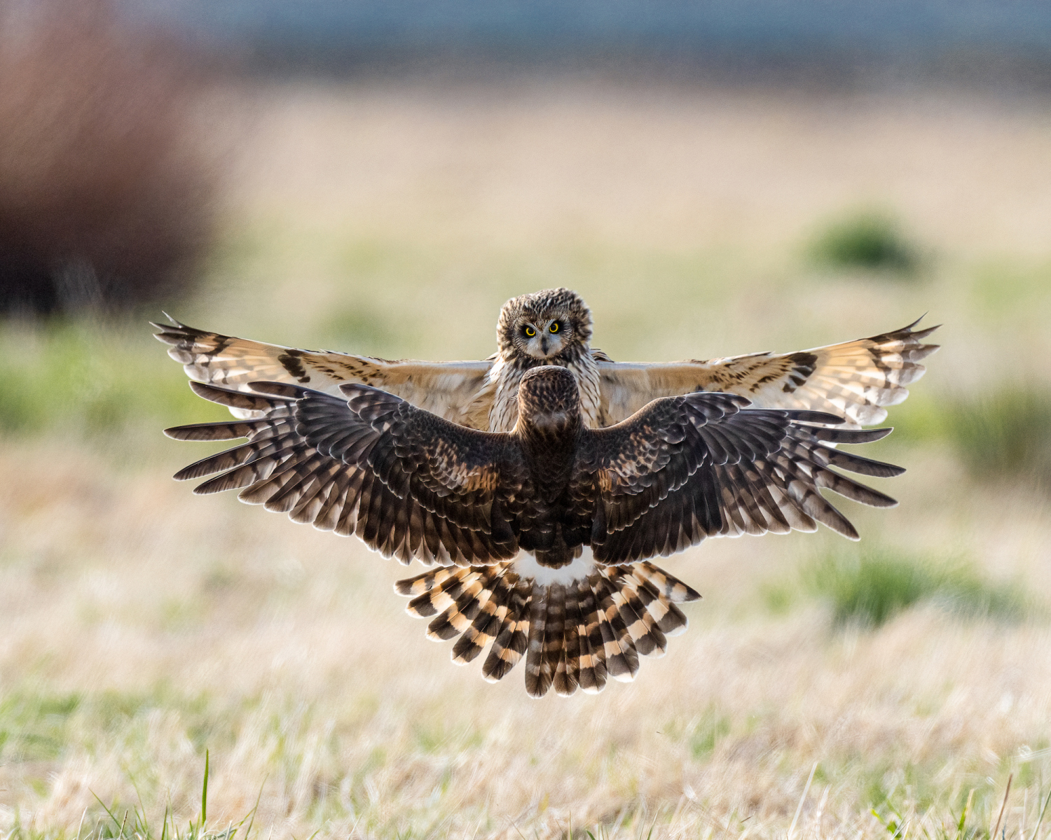 Short-eared Owl and Northern Harrier by Kathy Wade