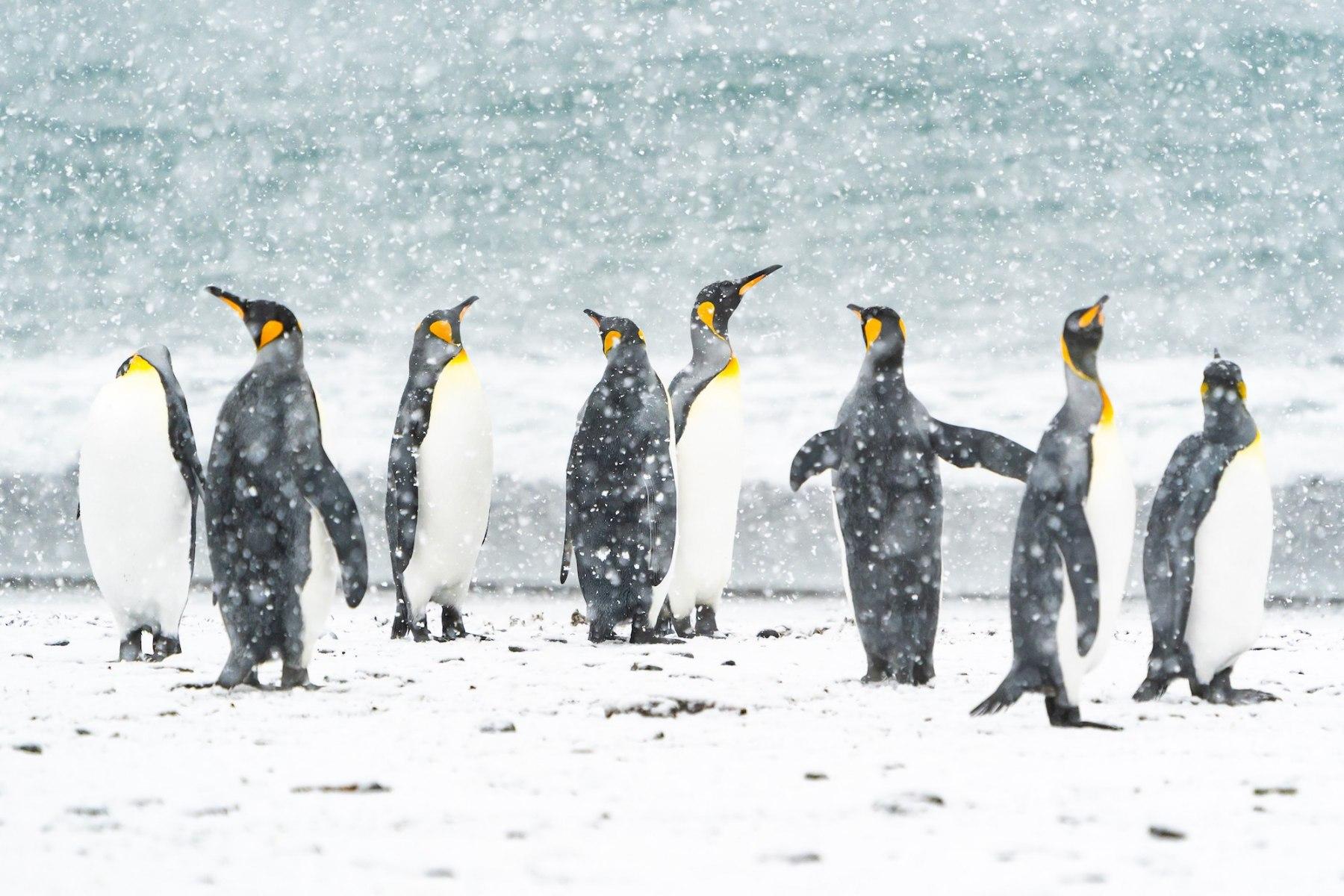 King Penguins by Sandra Nelson