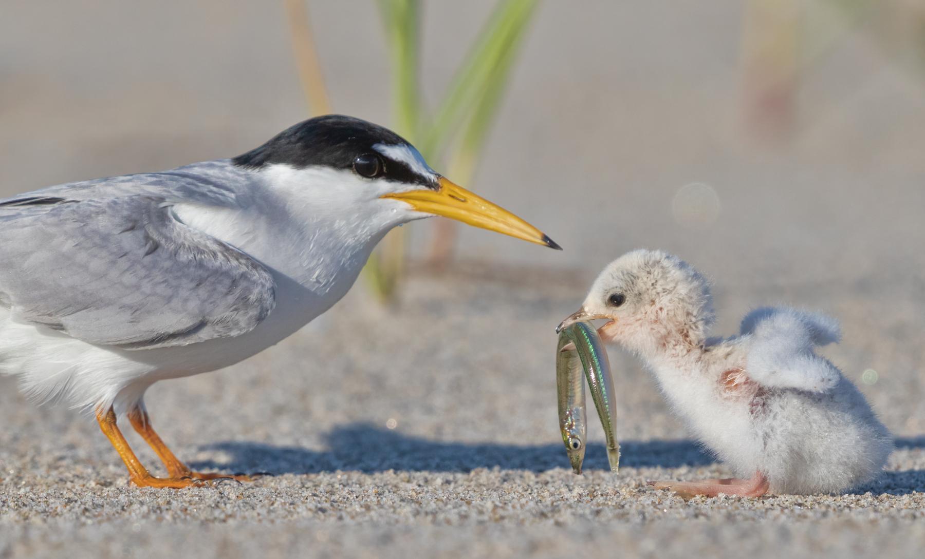 Least Terns by Tina McManus