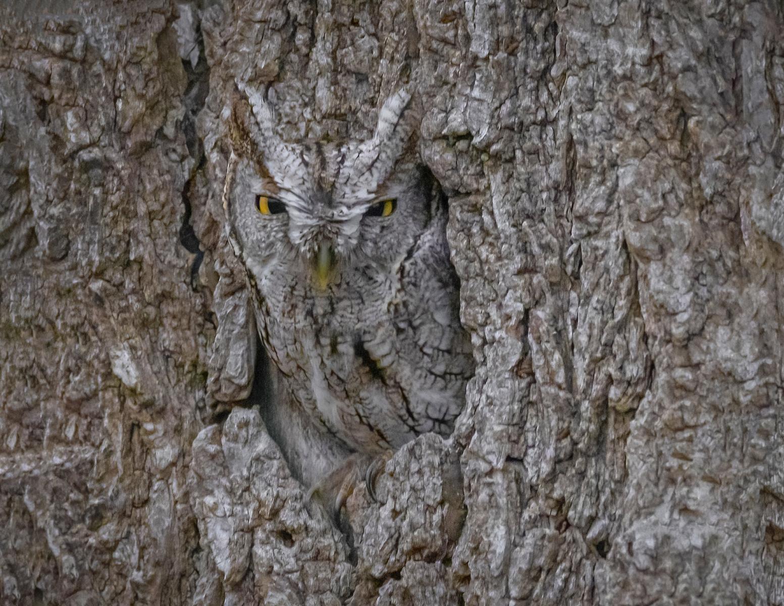 Eastern Screech-Owl by Cissy Beasley