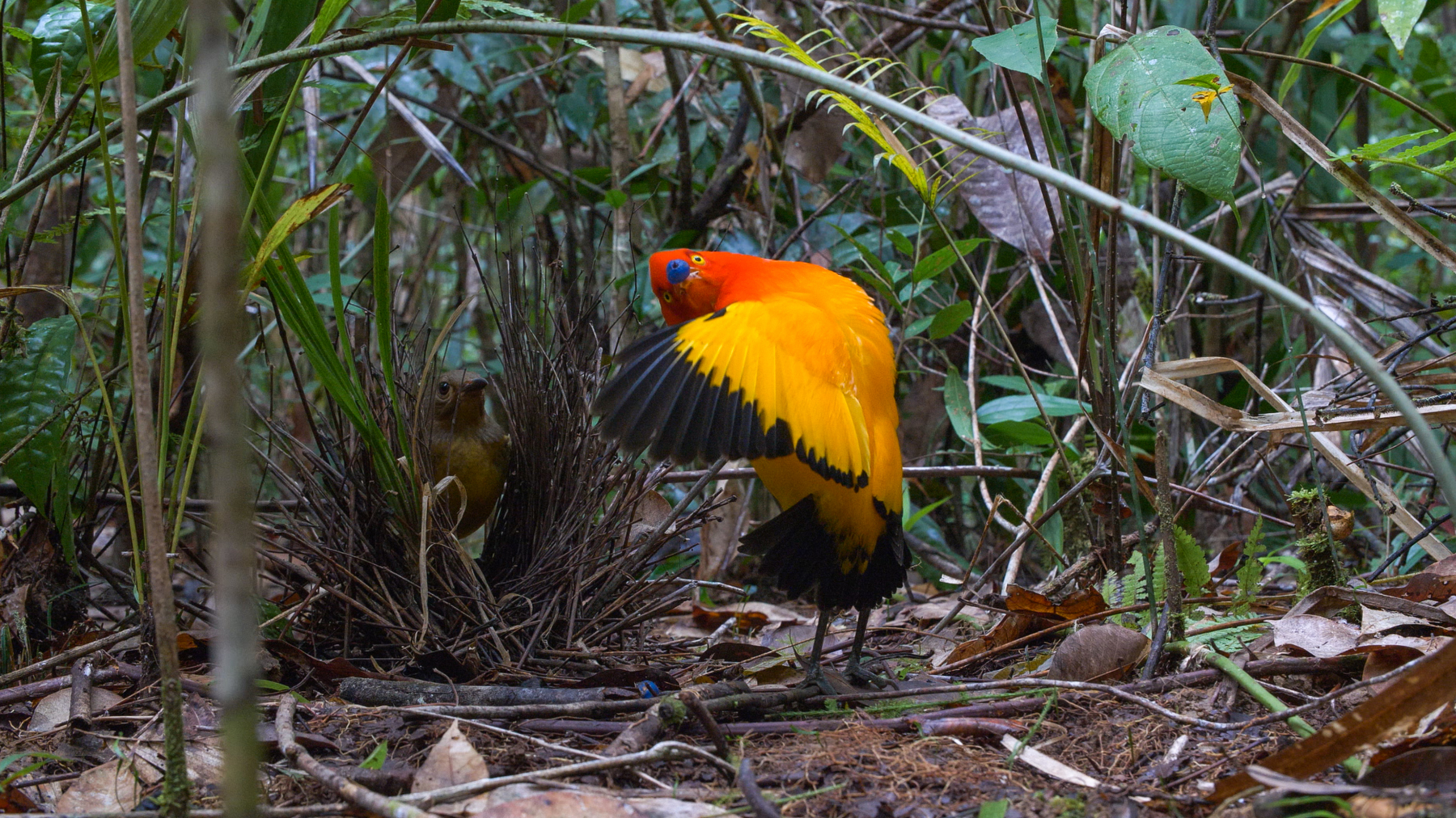 Flame Bowerbirds at a bower