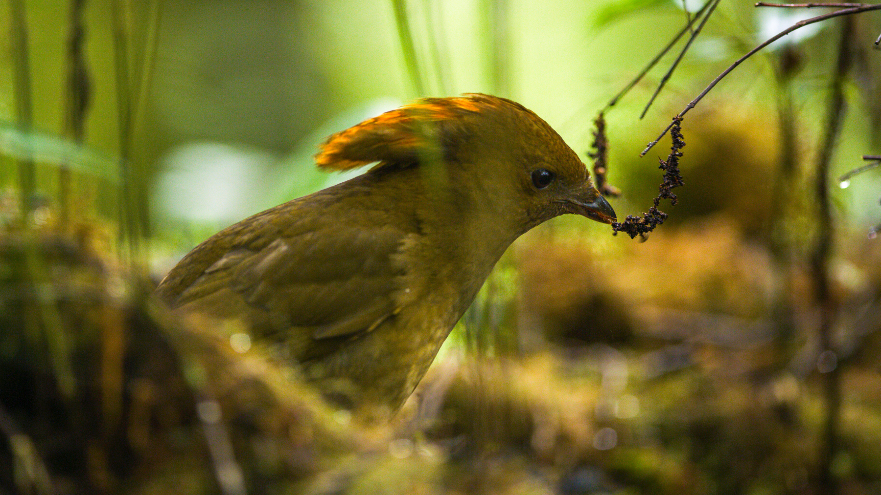 MacGregor's Bowerbird