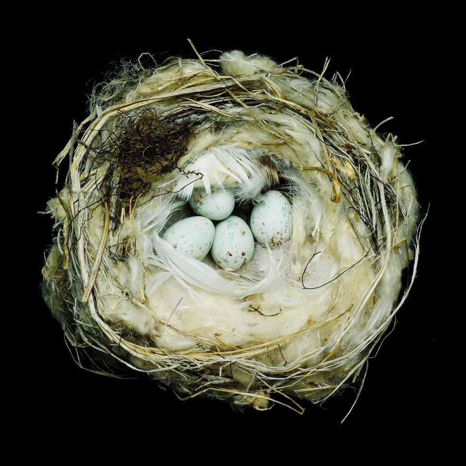 Photo of Common Redpoll nest from museum collection by Sharon Beals