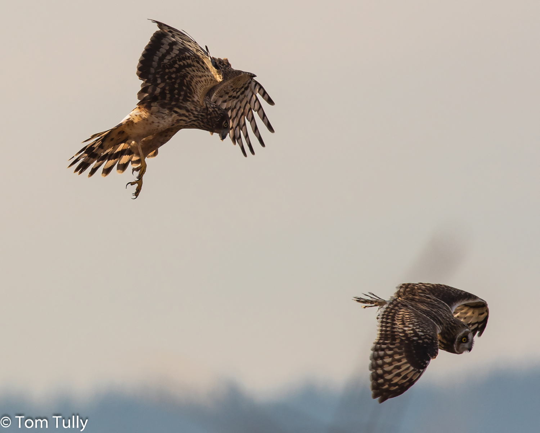 Harrier chases owl