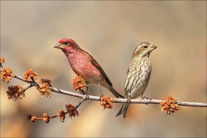 Purple Finch Pair