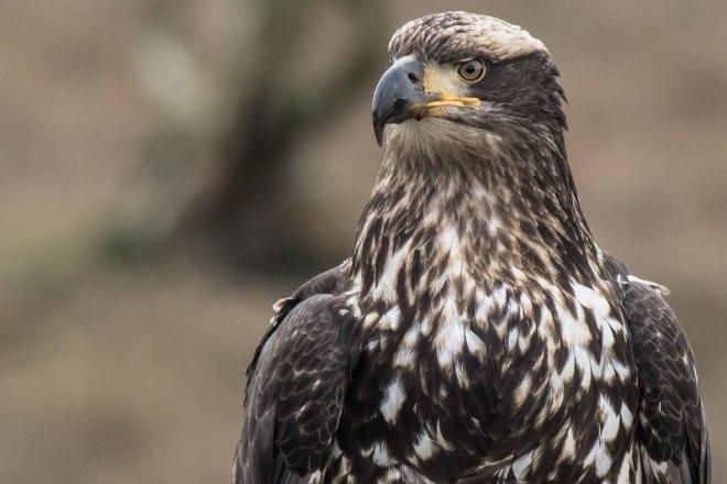 Third Year Bald Eagle