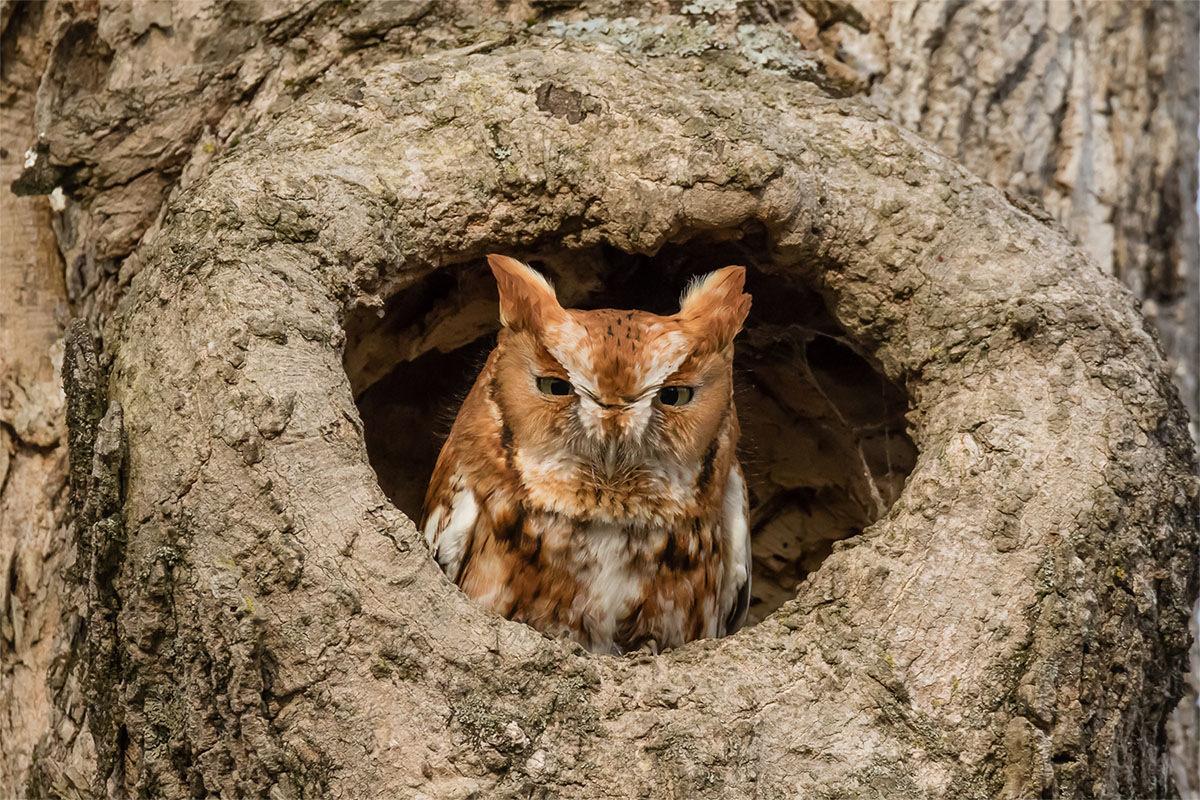 9. Screech-Owls