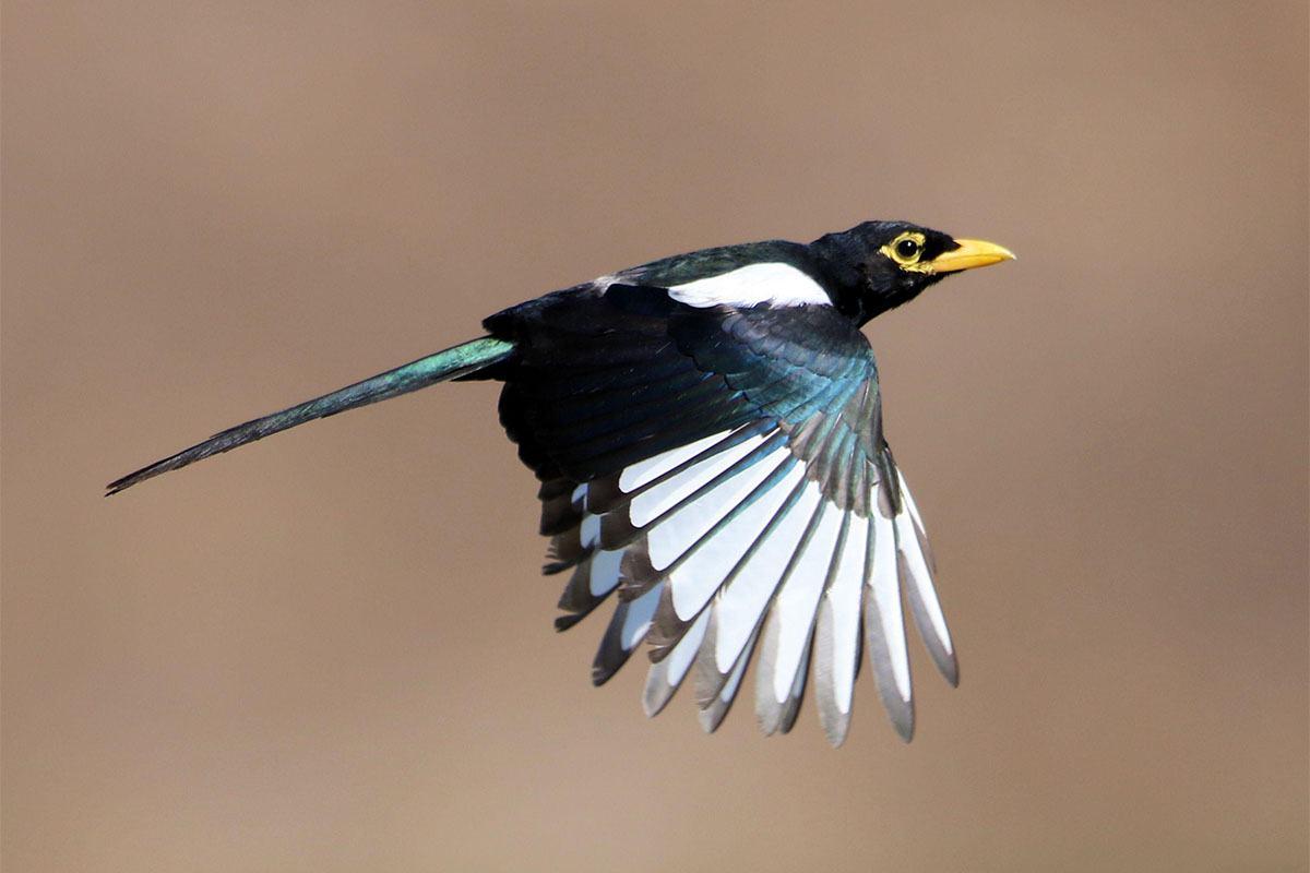 7. Magpies