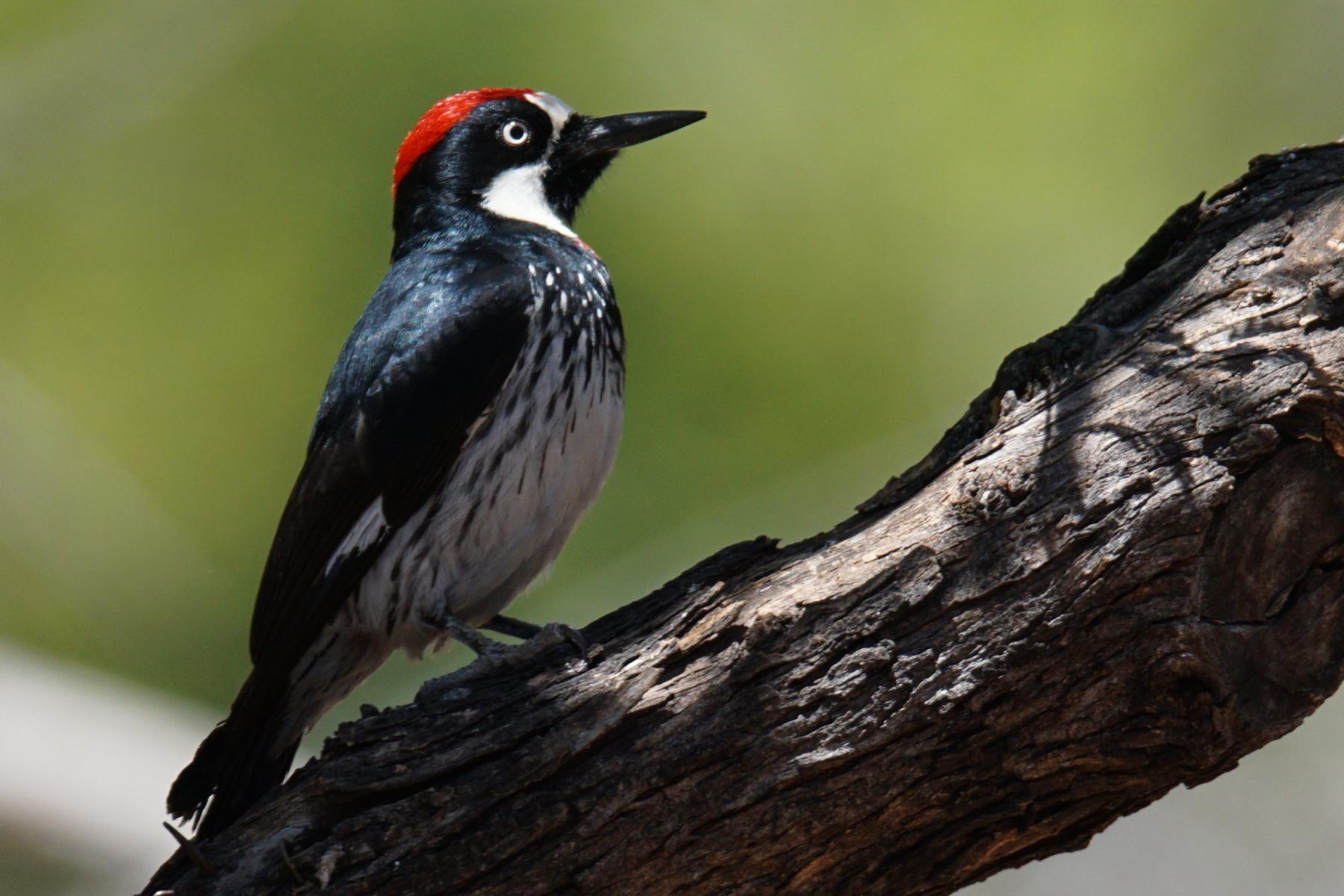 Acorn Woodpecker by Russ Ergen