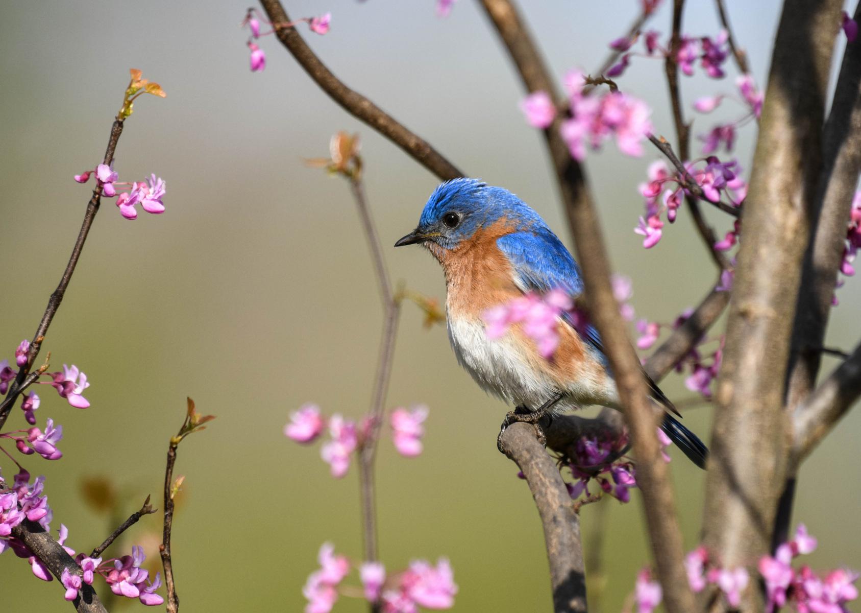 Eastern Bluebird by Steve Ricketts
