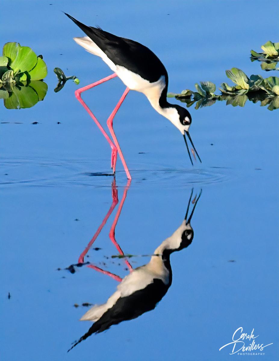 Black-necked Stilt by Carole Devillers