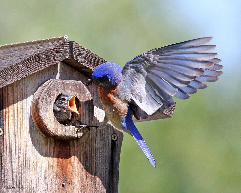 Western Bluebirds by Mary Welty