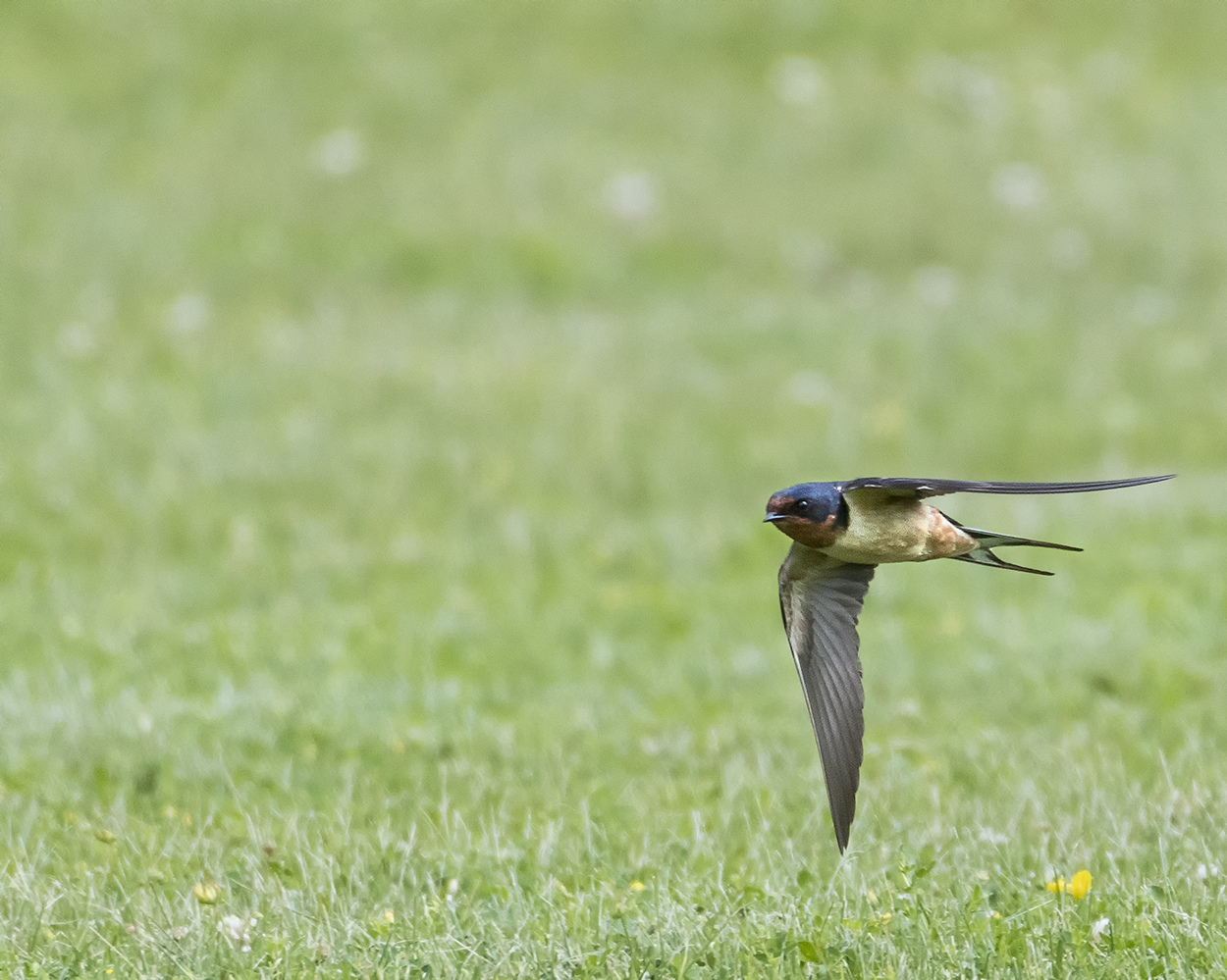 Barn Swallow by Chris McPhee
