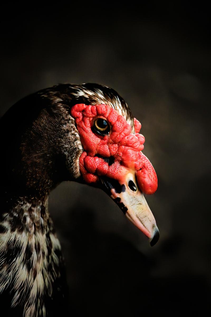 Muscovy Duck by Linn Smith