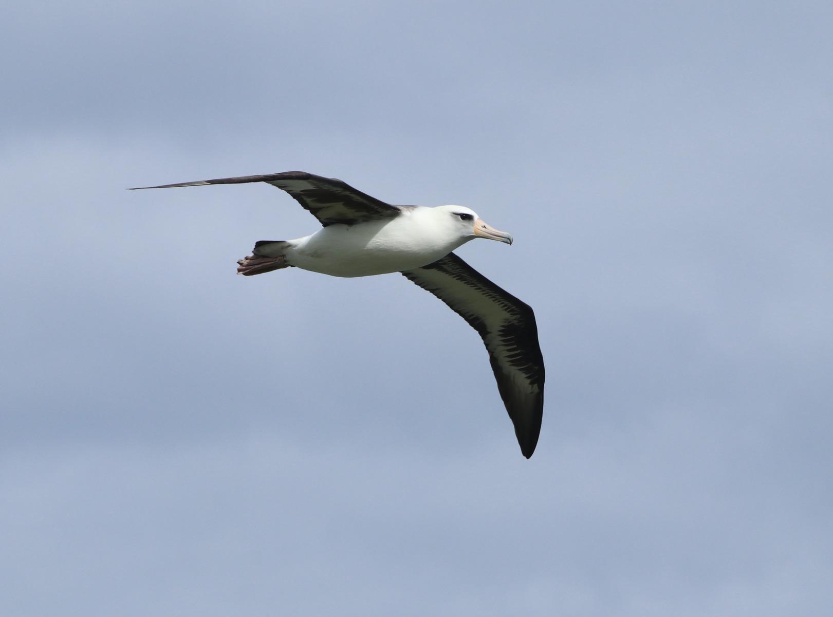 Laysan Albatross by Susan Szeszol
