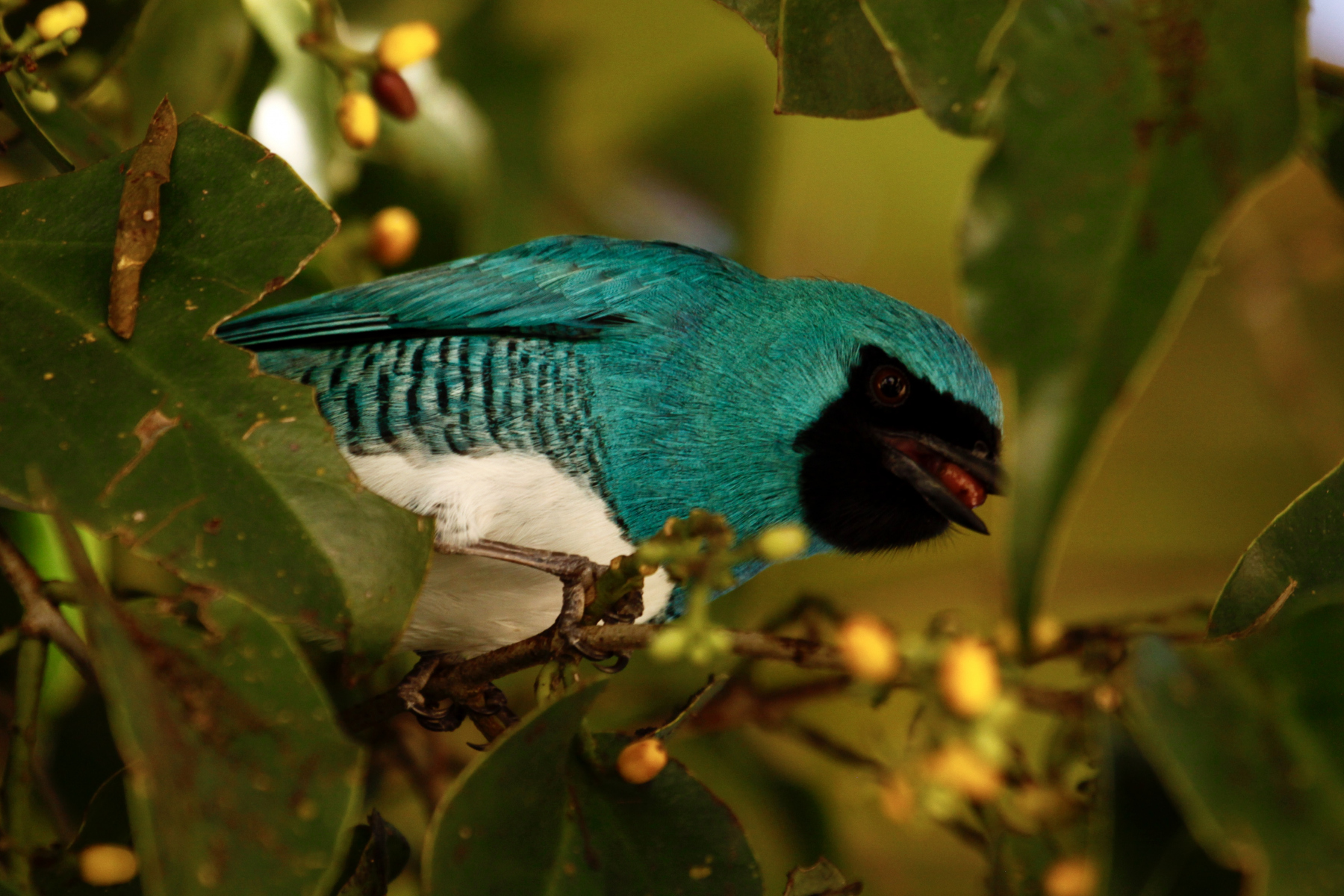 Swallow Tanager by Kate Winstanley