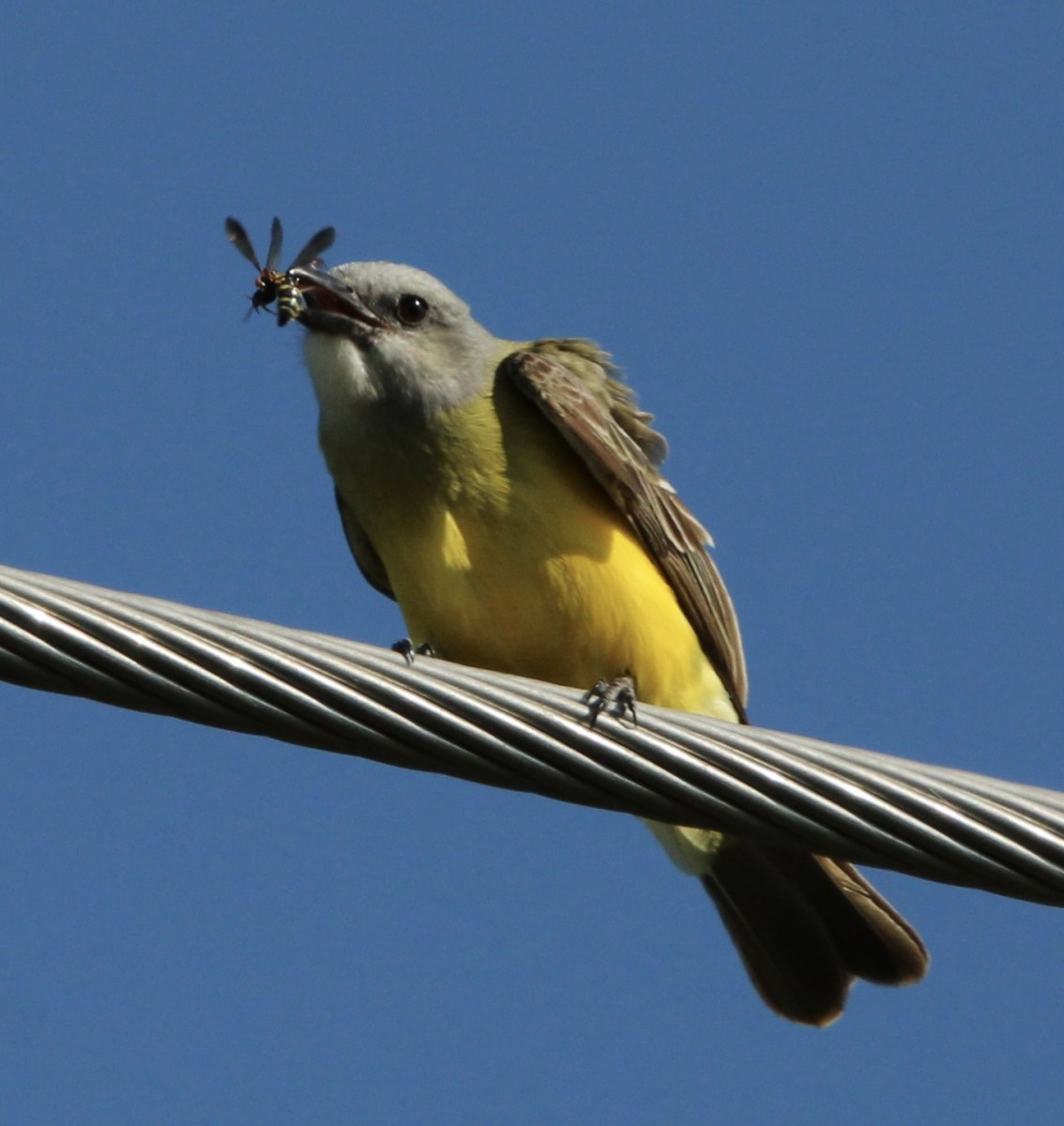 Couch's Kingbird by Dennis Durkee