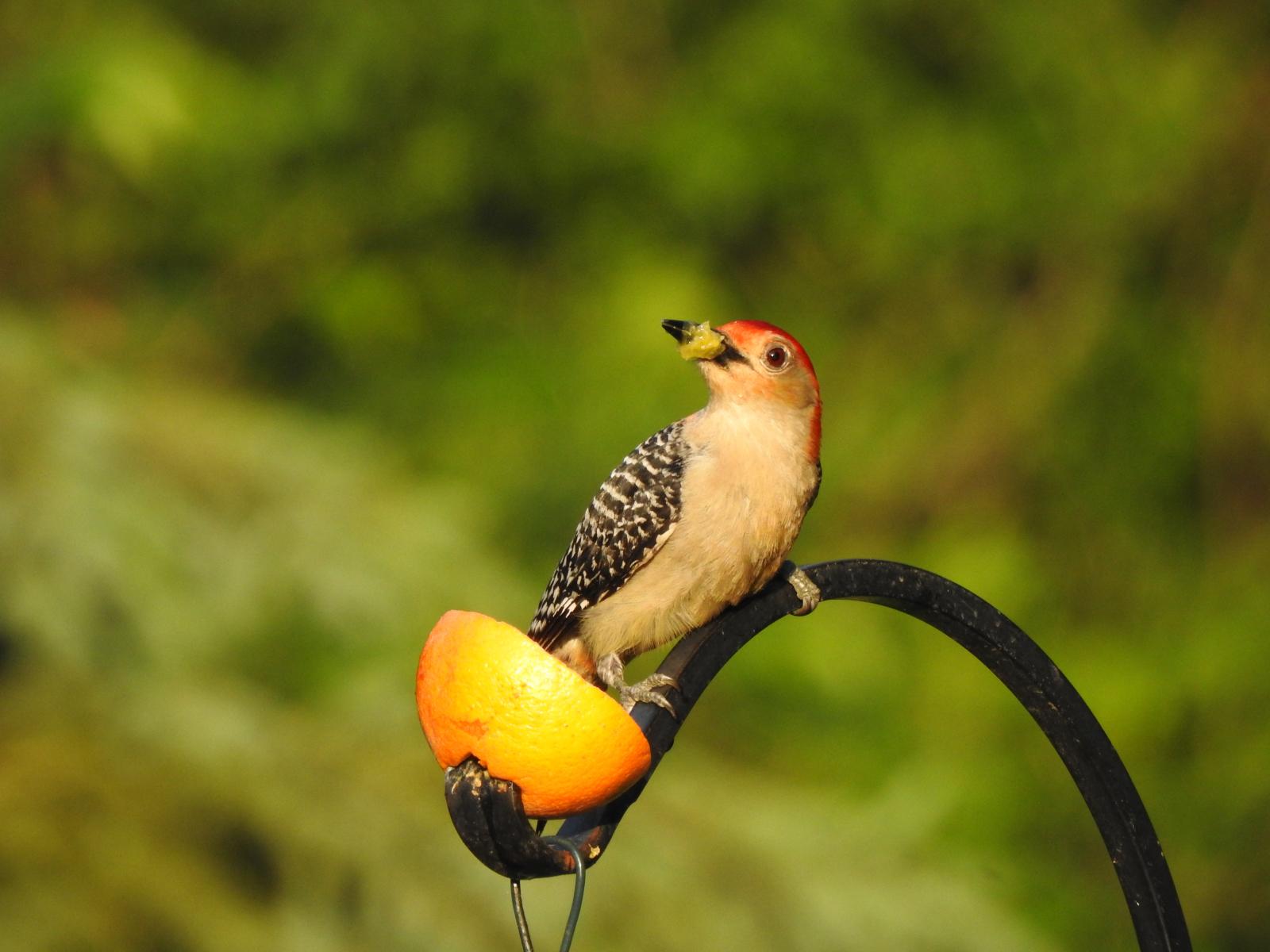 Red-bellied Woodpecker by Linda Wegs