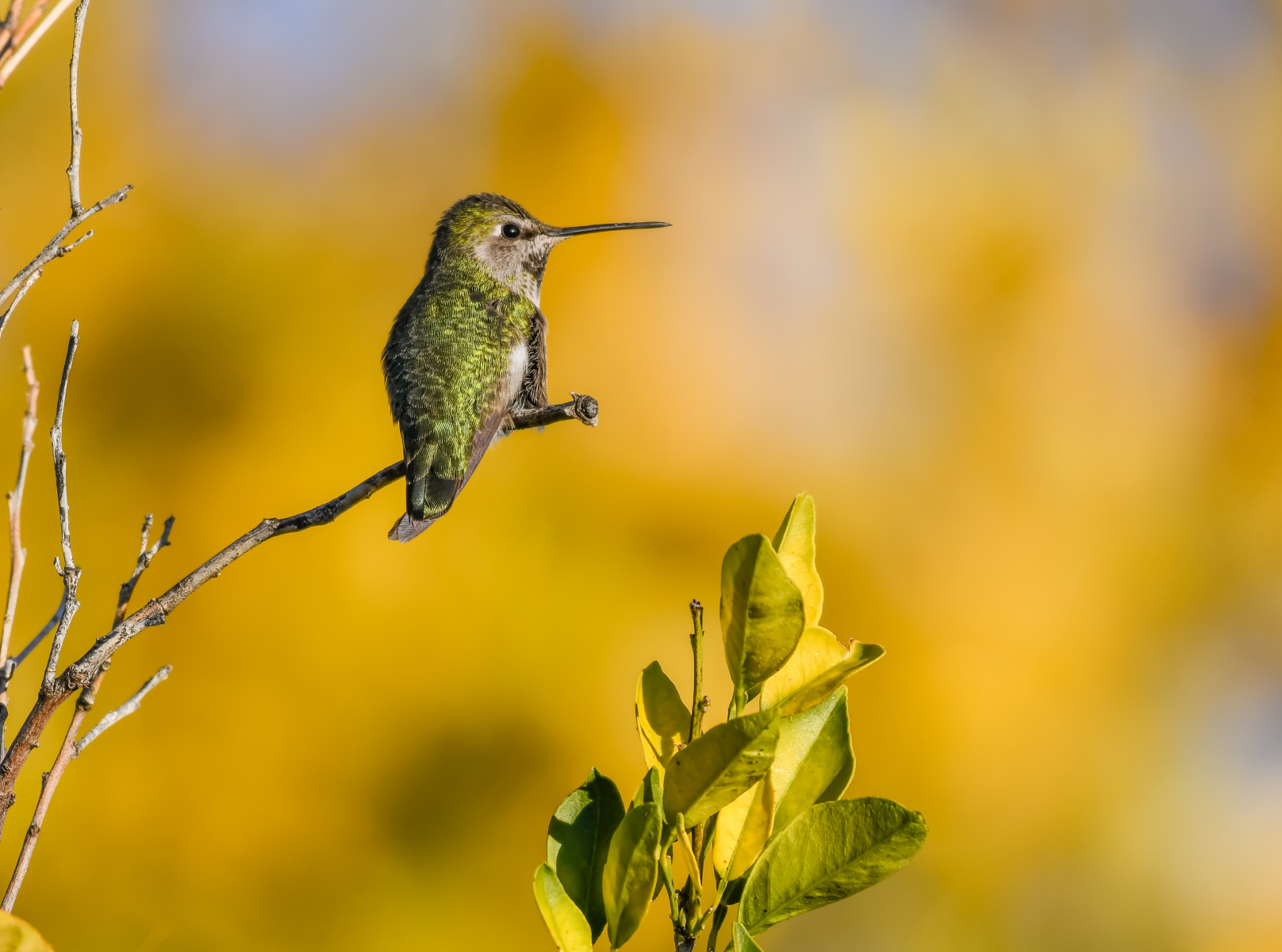 Anna's Hummingbird by Jill Tierney