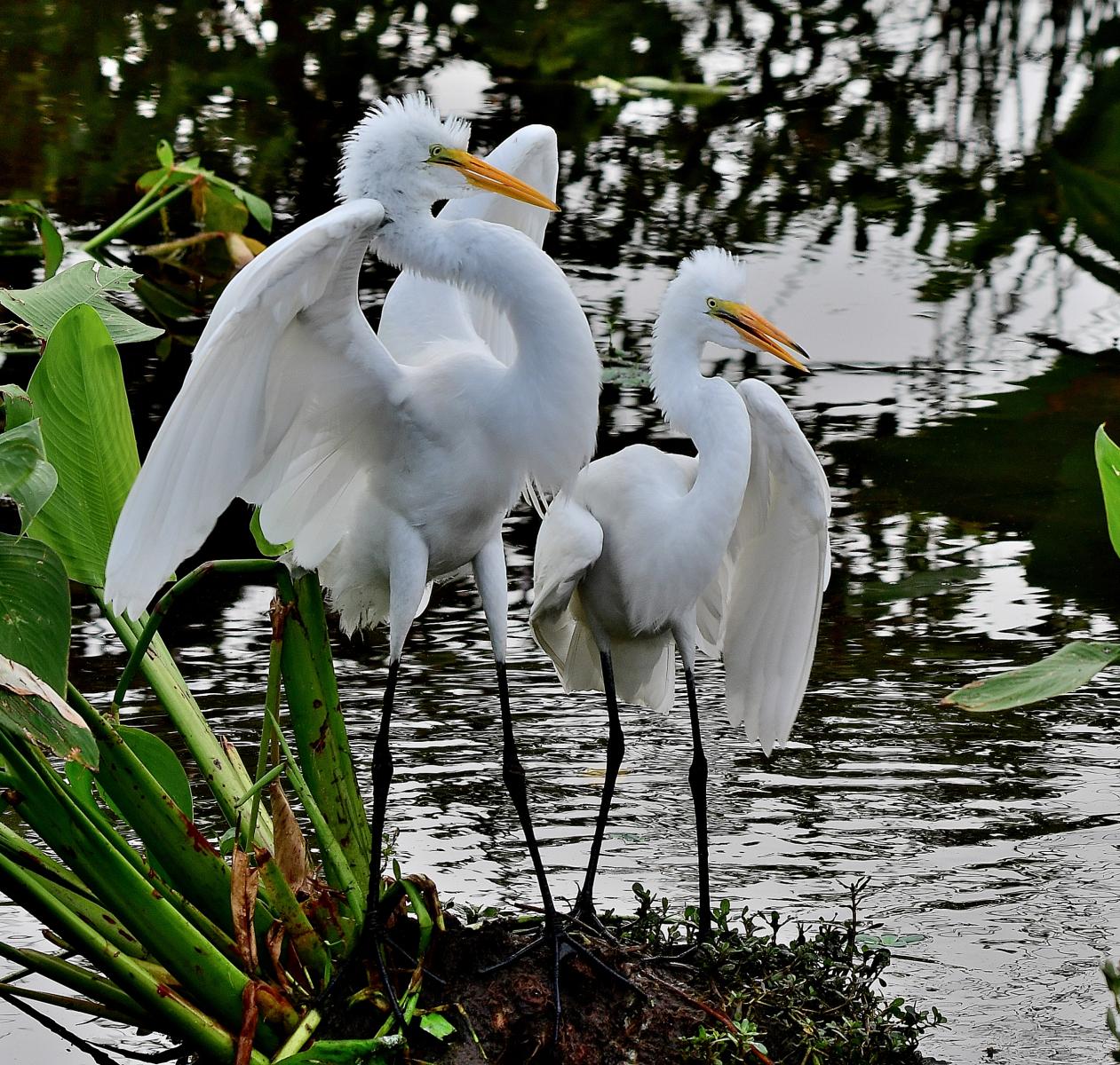 Juvenile Great Egrets by Marilynne Strazzeri