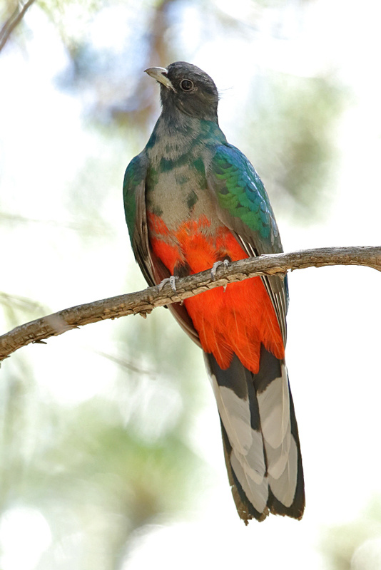 Eared Quetzal by Steve Wolfe