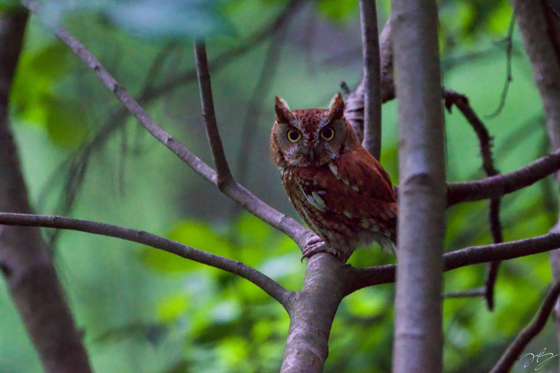 Eastern Screech-Owl by Troy Bynum