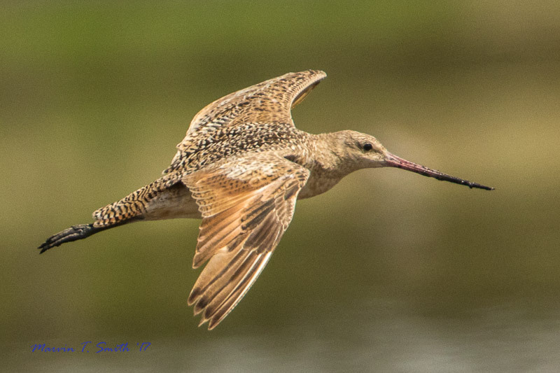 Marbled Godwit by Marvin Smith