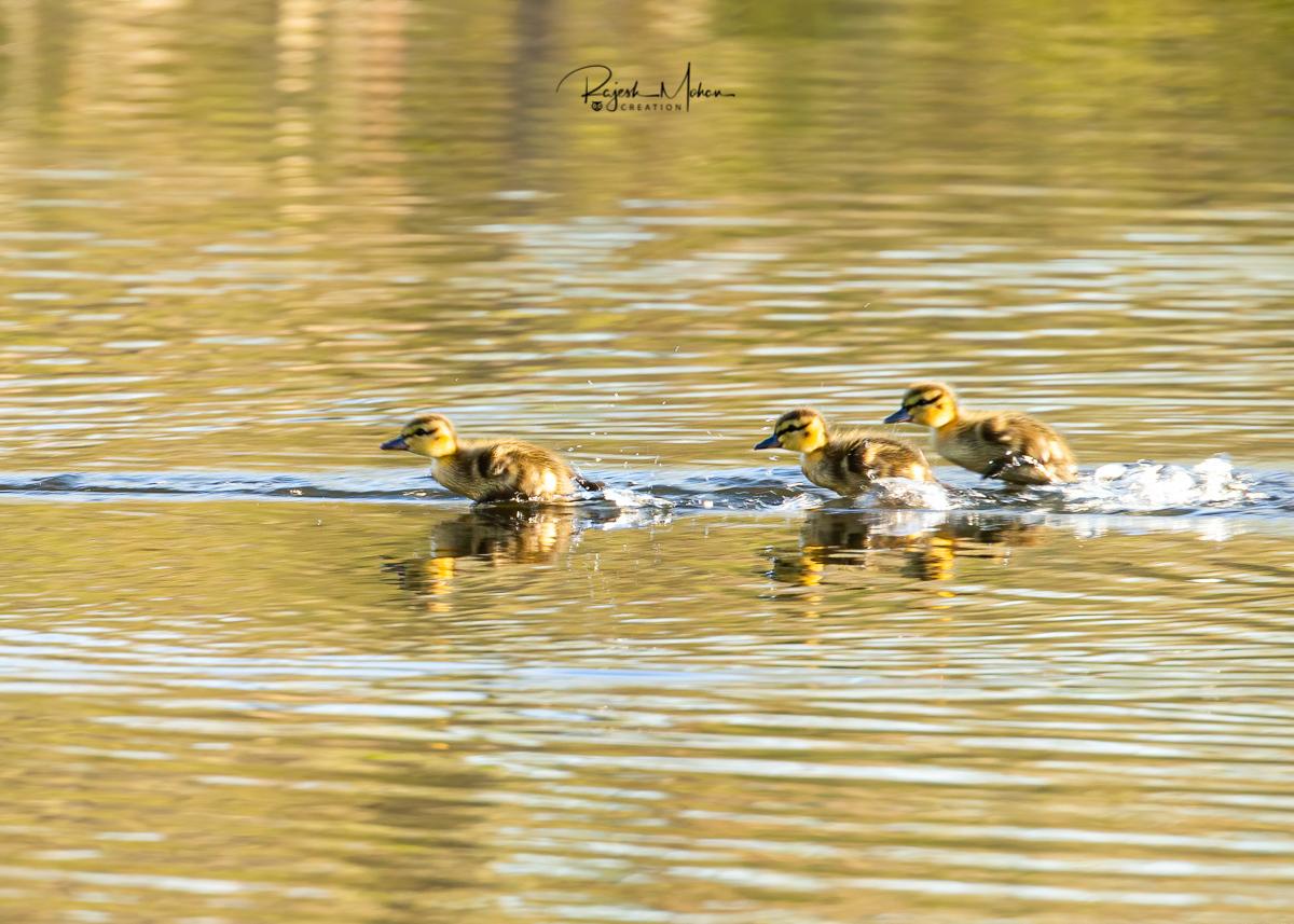 Mallard Ducklings by Rajesh Mohan