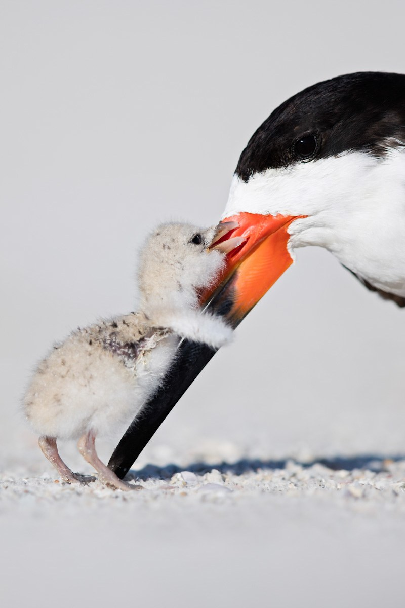 Black Skimmer and Chick