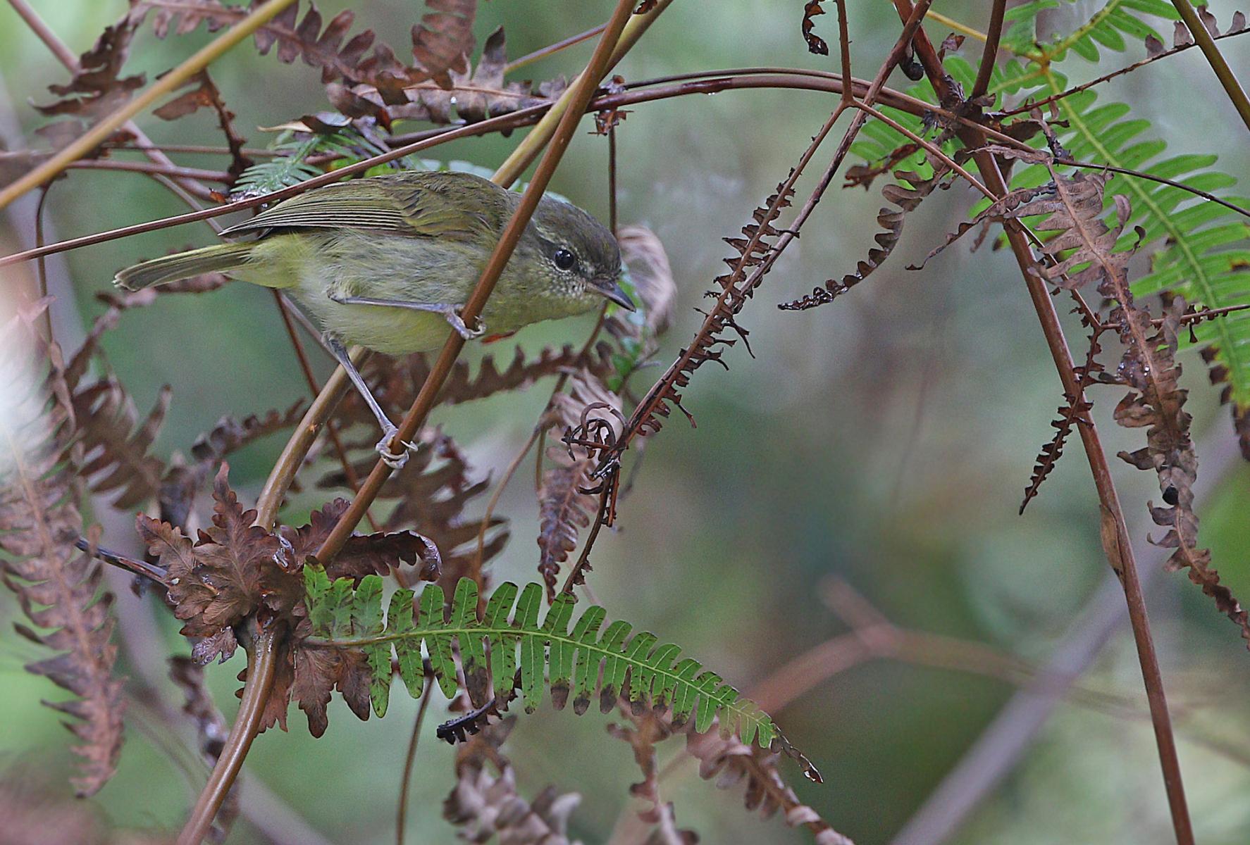 Taliabu Leaf-Warbler
