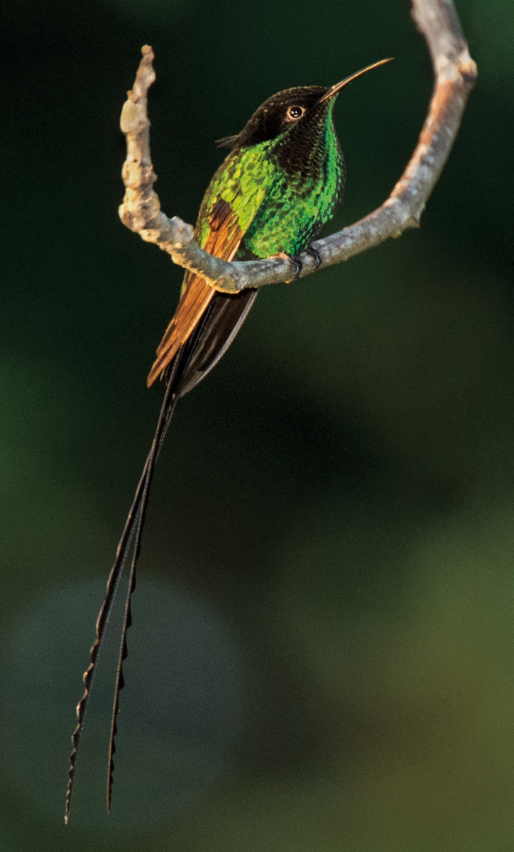 Black-billed Streamertail