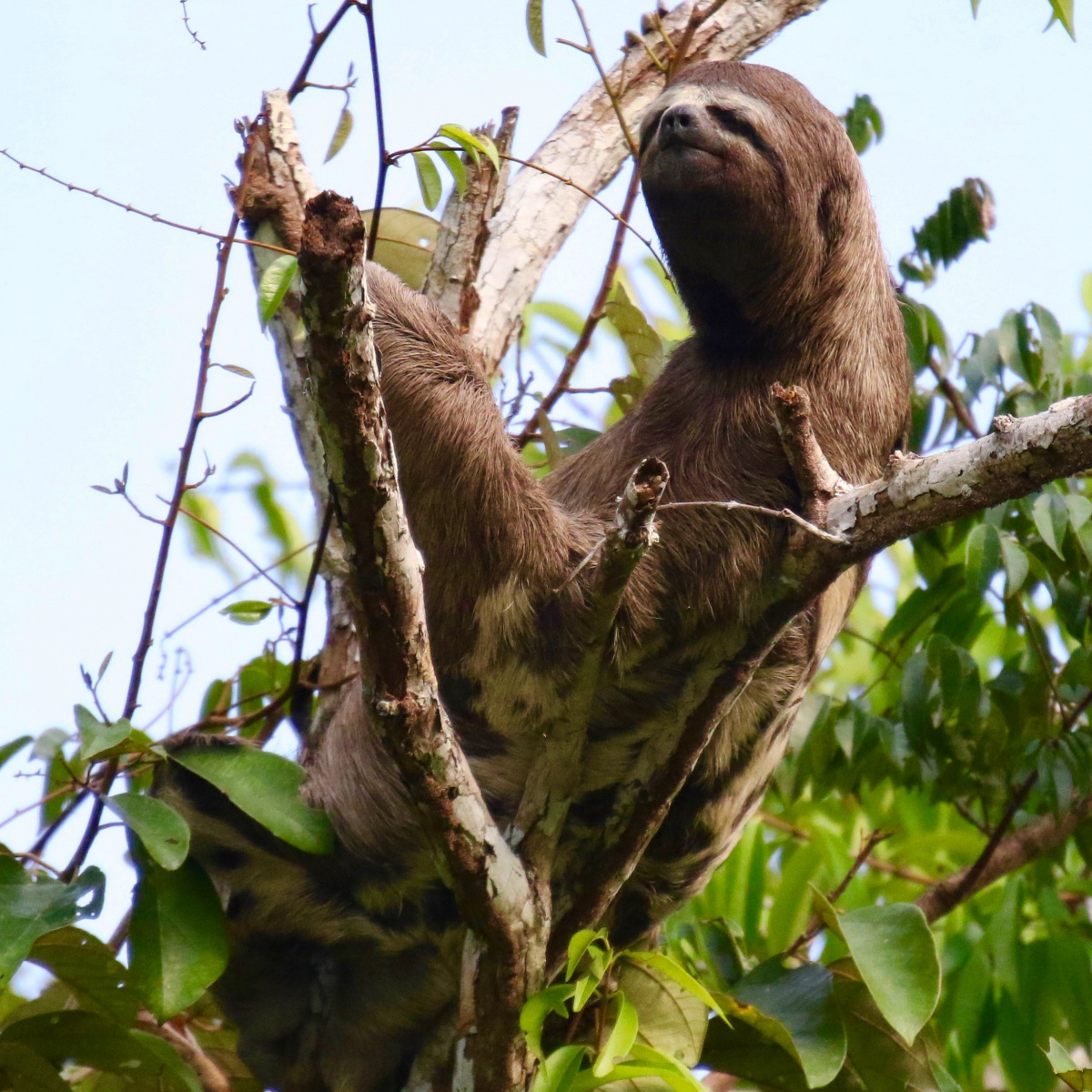 Brown three-toed sloth