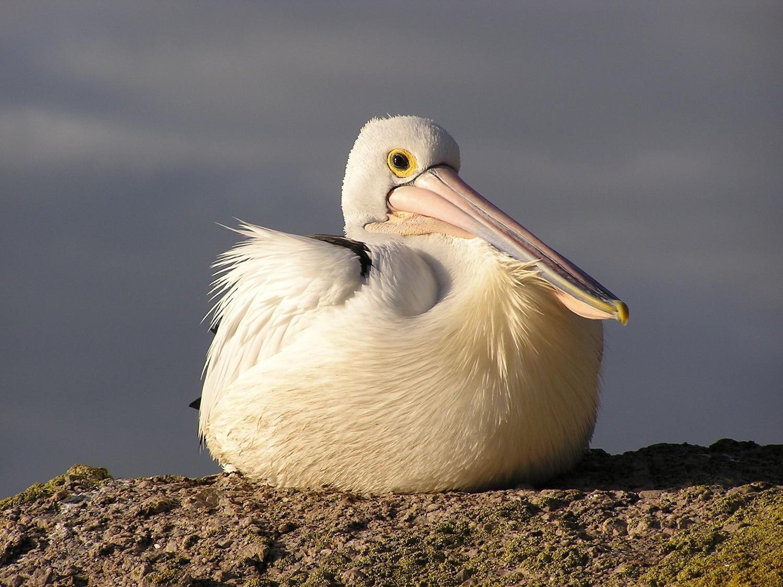 Australian Pelican by Ann Somerville-Charles