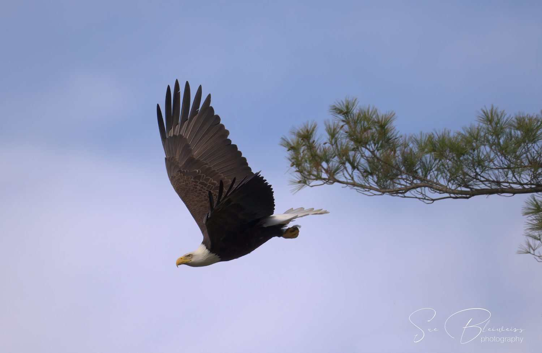 Bald Eagle by Susan Bleiweiss