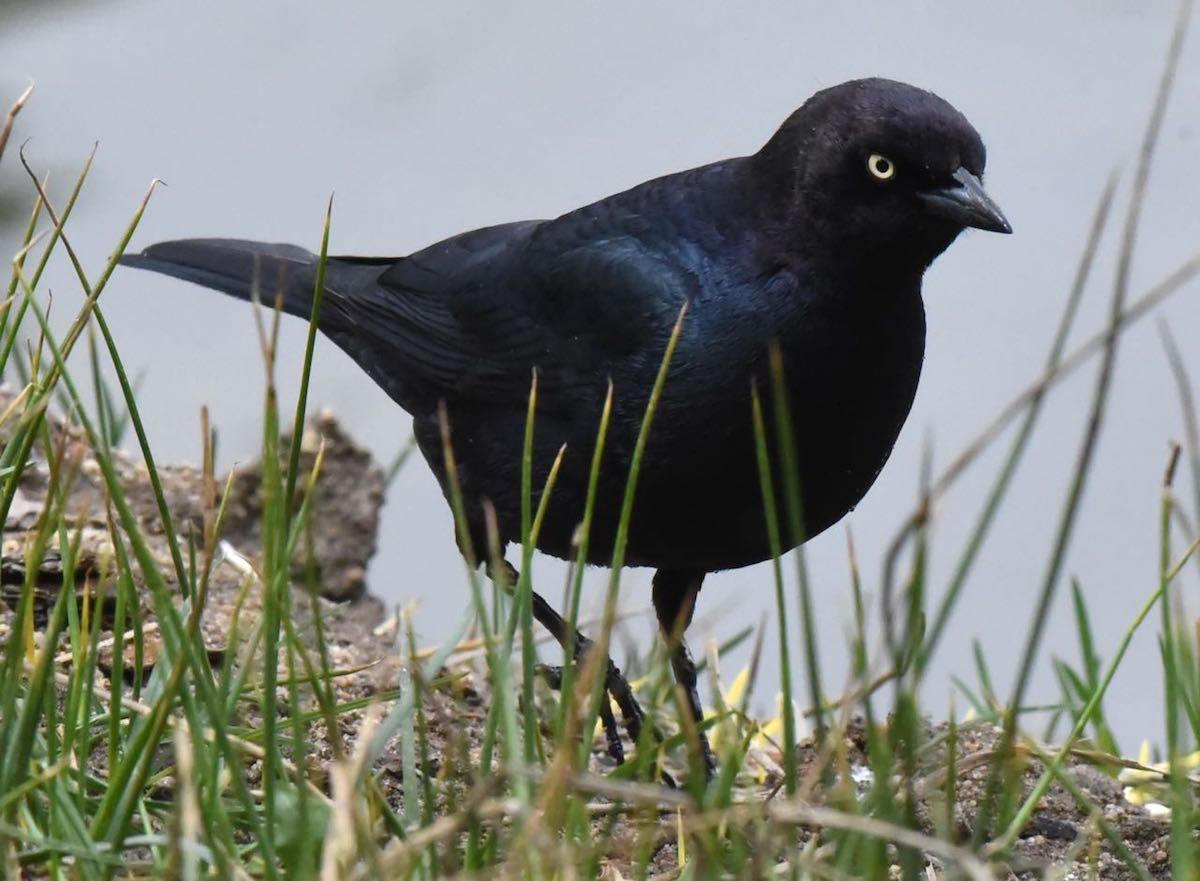 Brewer's Blackbird by Bob Betancourt