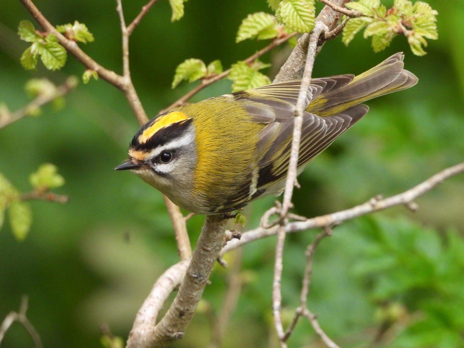 Common Firecrest by Loon67