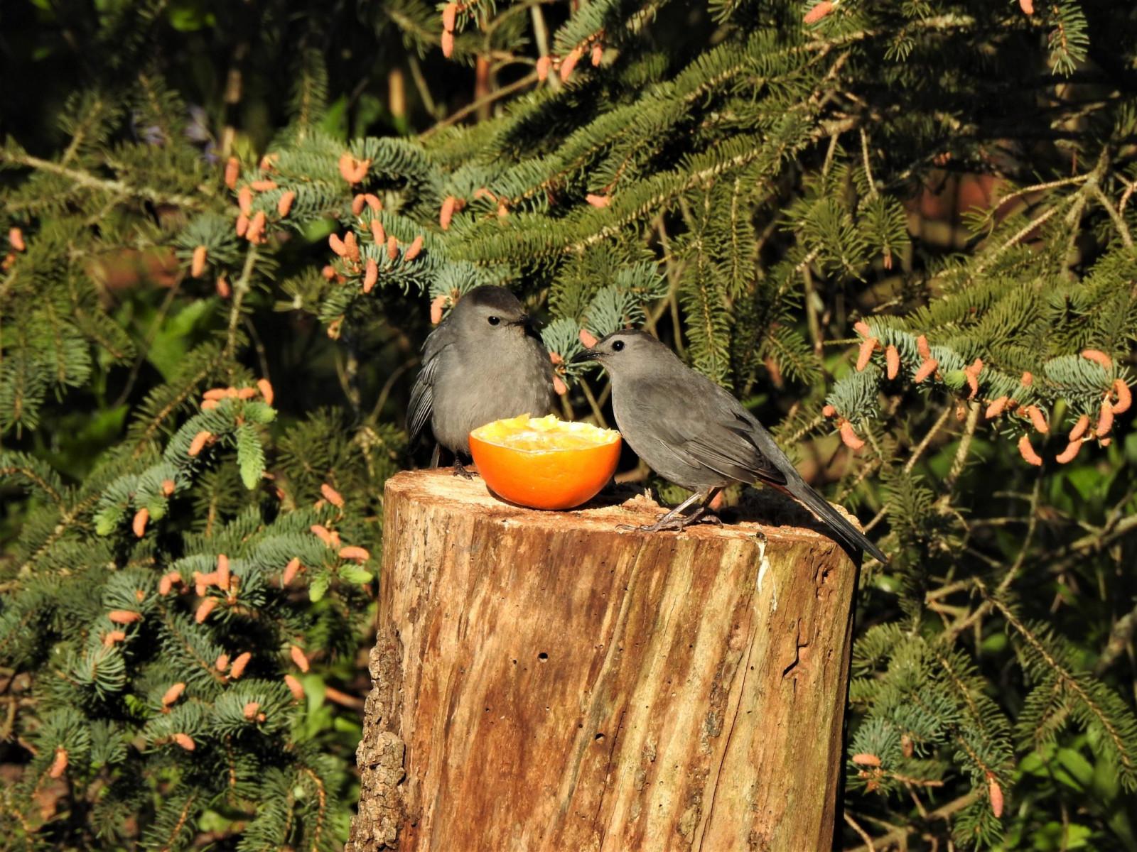 Gray Catbirds by Linda Wegs