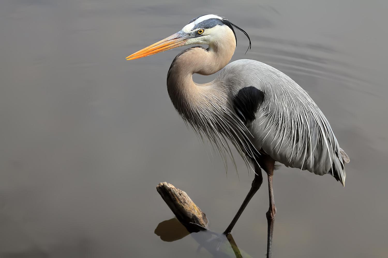 Great Blue Heron by Linn Smith