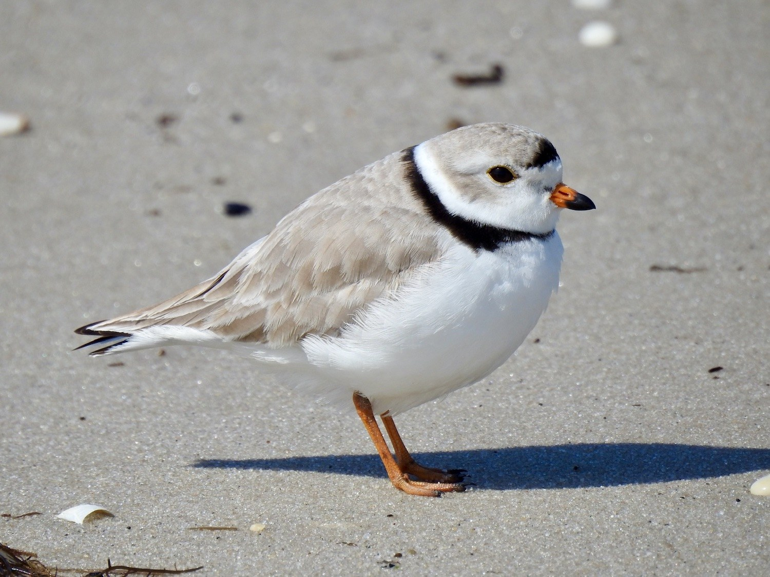 Piping Plover by Marian McSherry