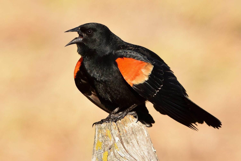 Red-winged Blackbird by David Mundy