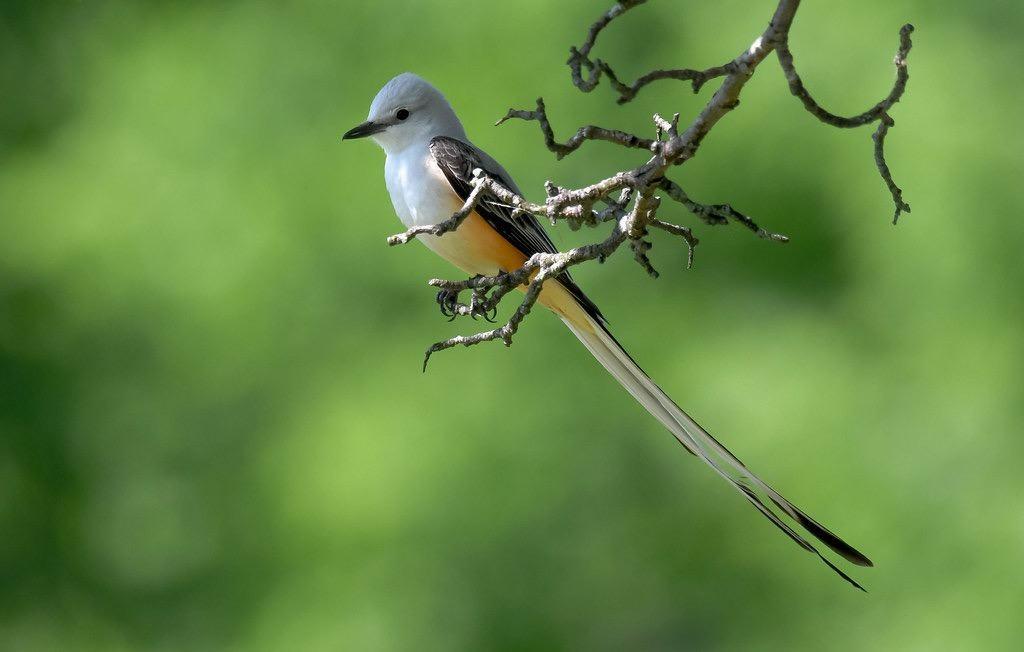 Scissor-tailed Flycatcher by Steve Ricketts