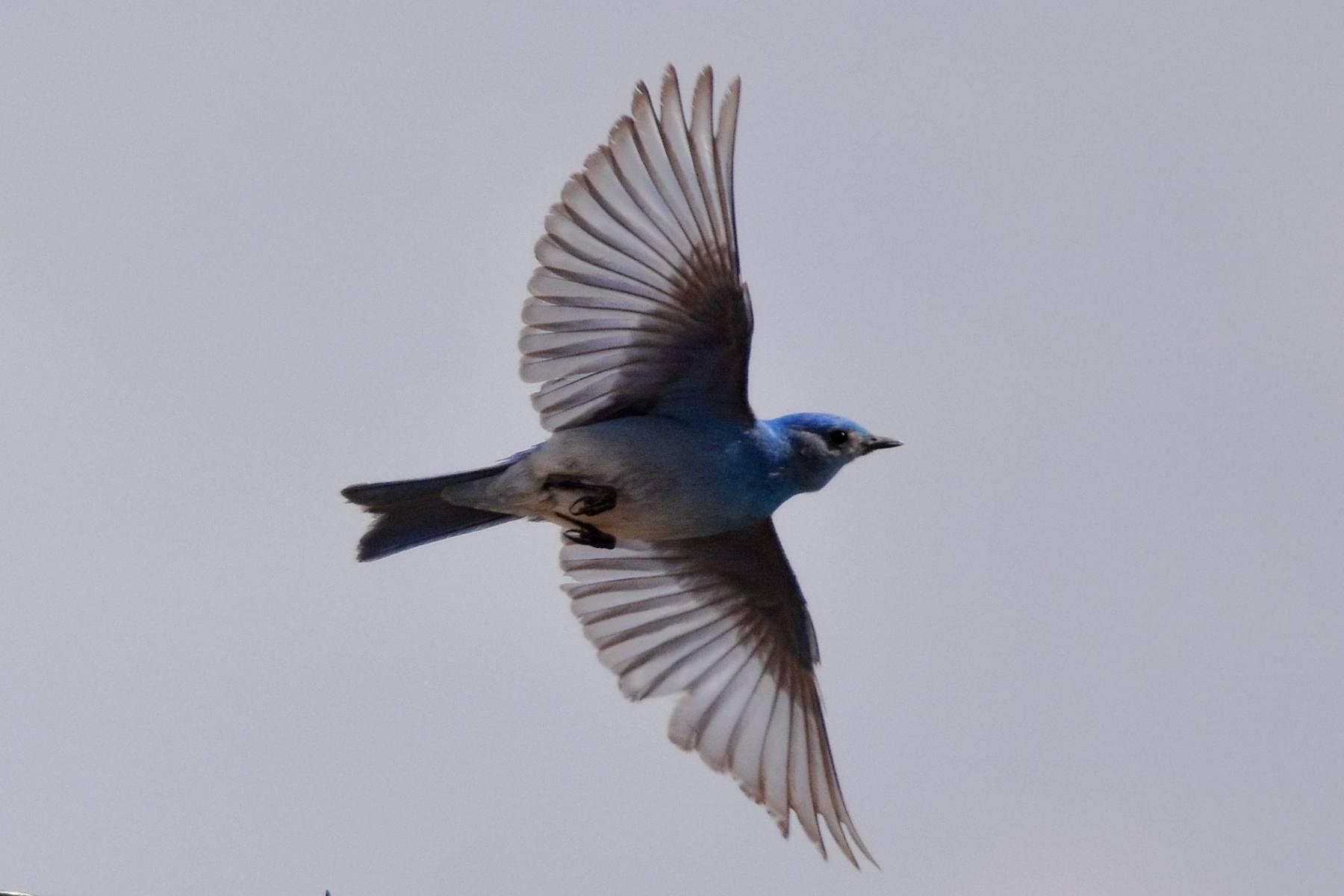 Mountain Bluebird by David Mundy