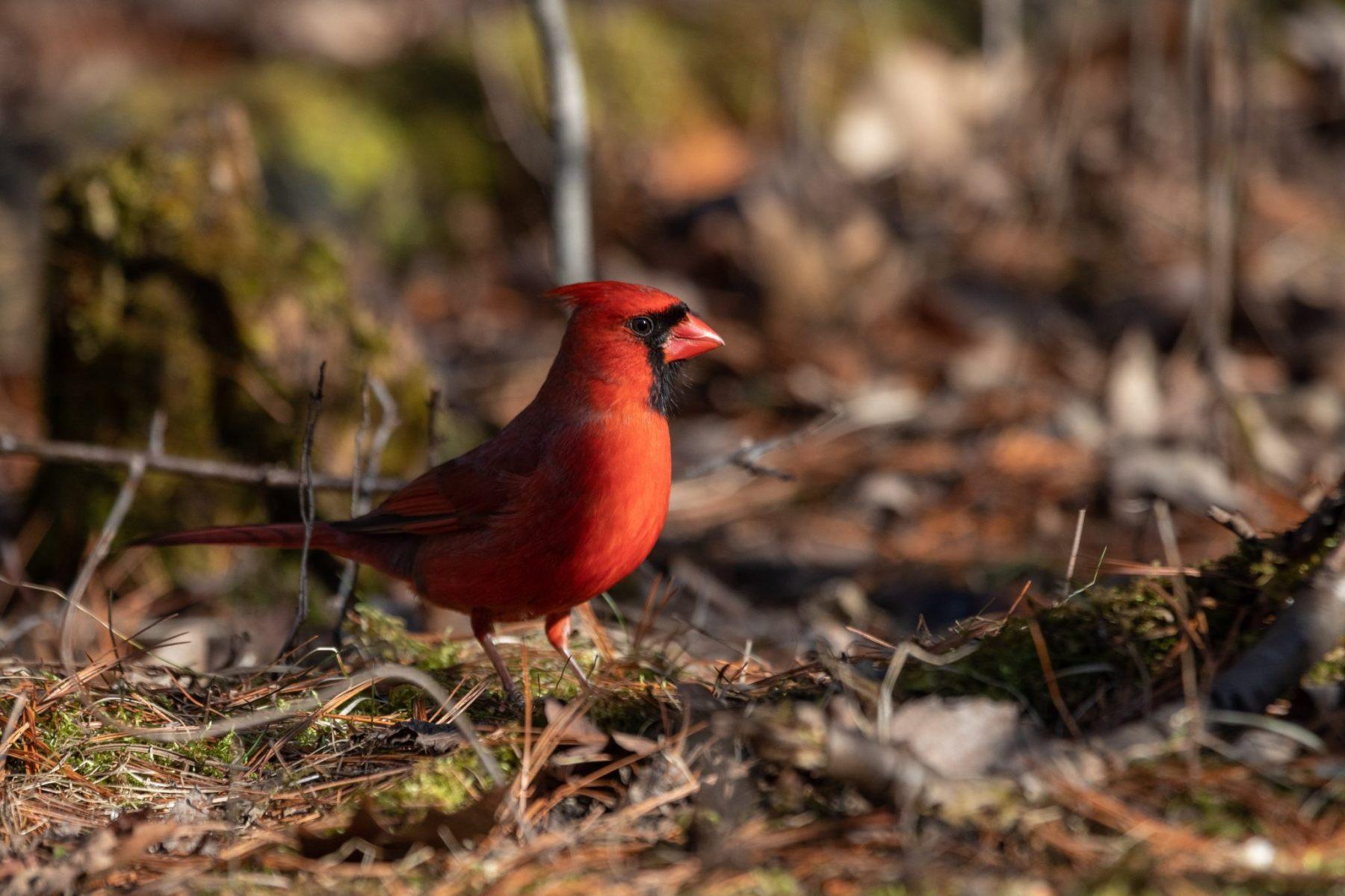 Northern Cardinal by Nicole Watson