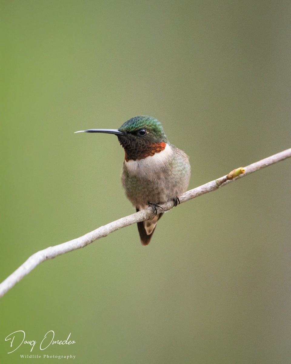 Ruby-throated Hummingbird by Doug Omedo