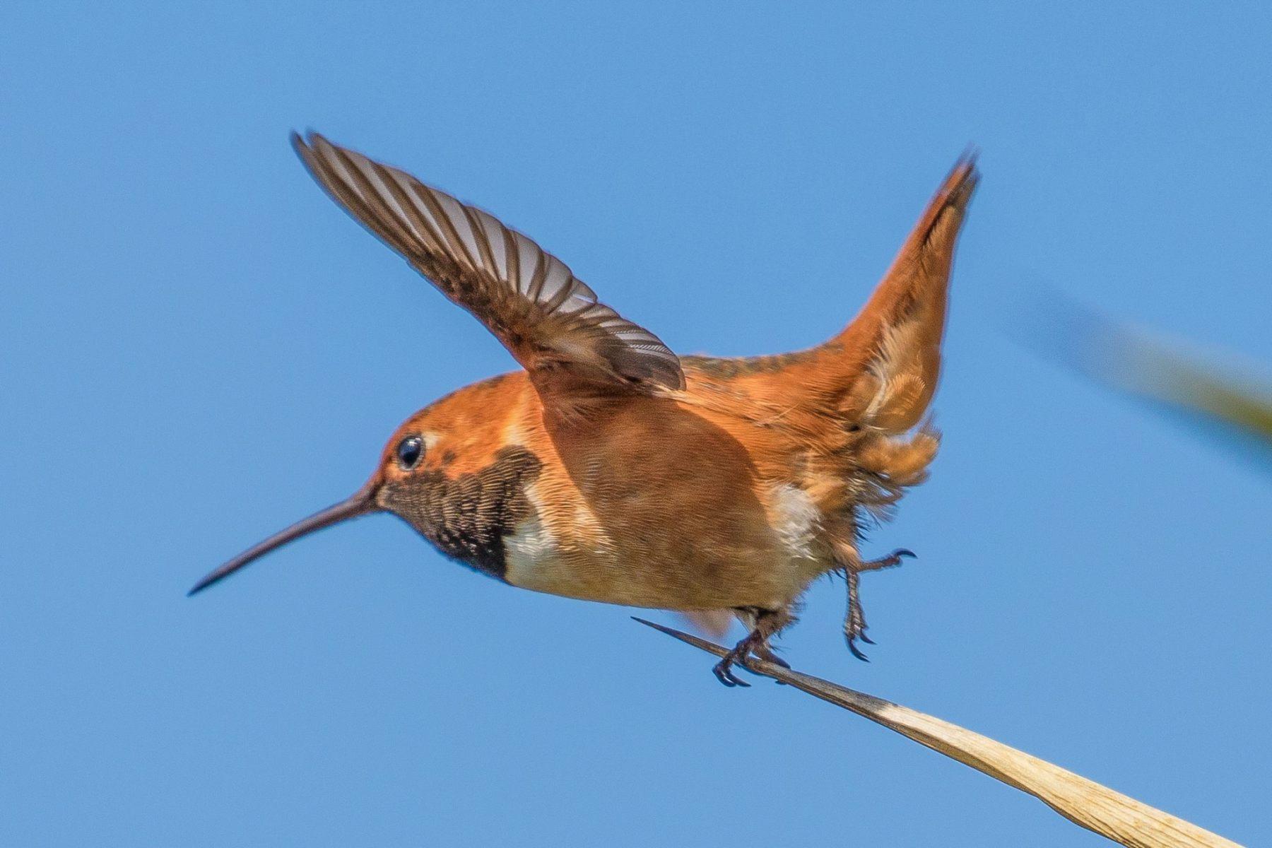 Allen's Hummingbird by Glenn Bush