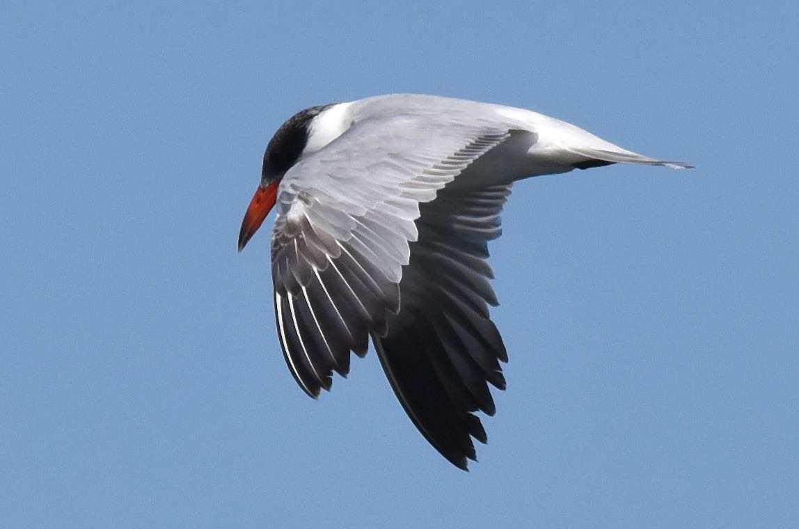 Caspian Tern by Bob Betancourt